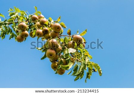 Closeup of a branch of a pear tree laden with nearly ripe pears on a sunny day with a clear blue sky at the end of the summer season.