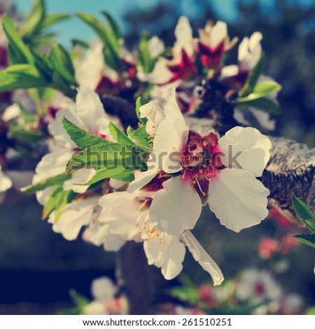 closeup of a branch of an almond tree in full bloom, with a filter effect - stock photo