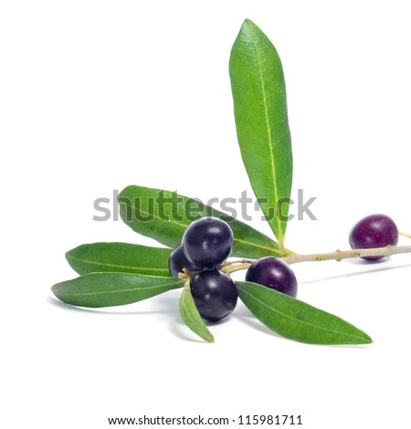 closeup of a branch of branch of olive tree with black olives on a white background - stock photo
