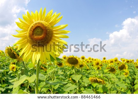 Closeup of a bright yellow sunflowers - stock photo