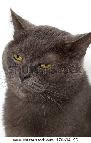 Closeup of a british short hair cat. - stock photo