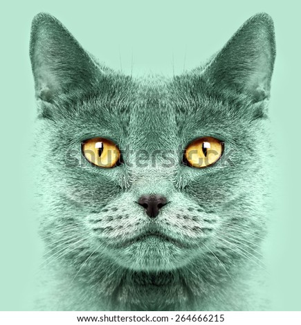 Closeup of a british short hair cat - stock photo