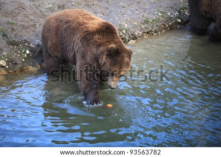 closeup of a brown kodiak bear