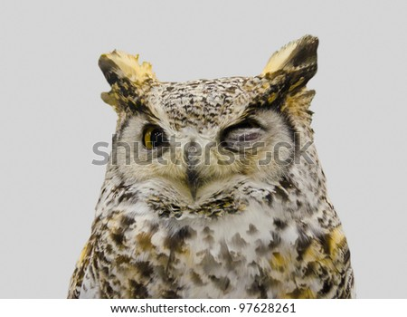 """Closeup of a brown owl with"""" ironical (friendly)"""" expression. Isolated on gray. - stock photo"""