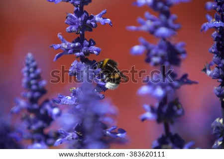 Closeup of a bumblebee in a field of purple salvia, summertime