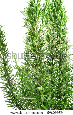 closeup of a bunch of rosemary on a white background