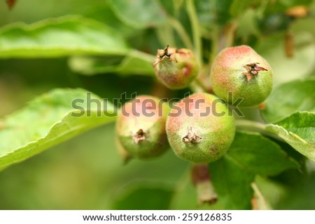 Closeup of a bunch of unripe apples on a tree branch - stock photo