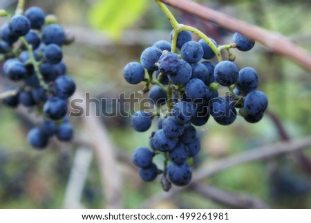 Closeup of a bunch of wild grapes ripened at the start of Autumn in Ontario, Canada.