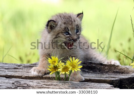 Closeup of a Canadian Lynx Kitten crying. - stock photo