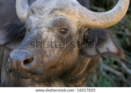 Closeup of a Cape Buffalo which has been disturbed