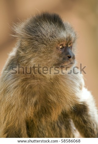 Closeup of a Capuchin Weeper Monkey - stock photo