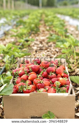 Closeup of a cardboard box full with fresh red strawberries on the field - stock photo