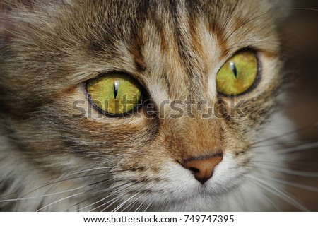 Closeup of a cat with big amber eyes. A purring little creature with lovely face.