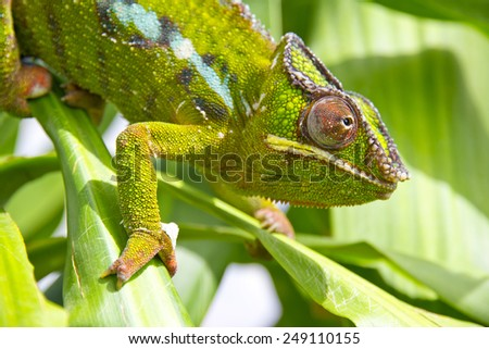 Closeup of a chameleon among the leaves of a tree