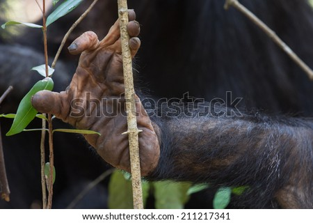 Closeup of a chimpanzee foot resting against a branch