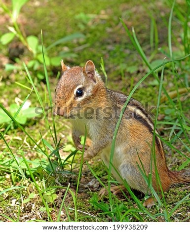 Closeup of a chipmunk as he is looking around after he came out of his hole. - stock photo