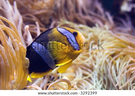 Closeup of a Clarkii Clownfish (Amphiprion clarkii) in some anemone. - stock photo