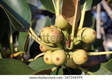 Closeup of a cluster of figs on a fig tree. - stock photo