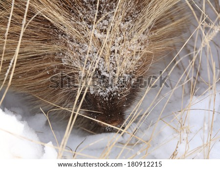 Closeup of a cold porcupine - stock photo