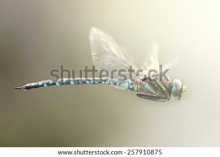 Closeup of a colorful dragonfly in flight, Sweden - stock photo