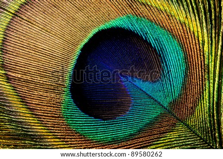 Closeup of a colorful peacock feather with a black background - stock photo