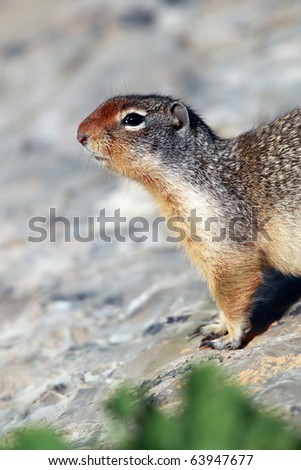 Closeup of a Columbian Ground Squirrel against a blurred background.
