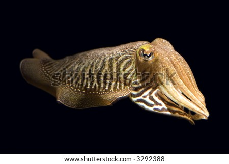 Closeup of a common cuttlefish (Sepia officinalis). - stock photo