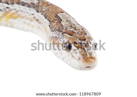 Closeup of a corn snake (isolated on white) - stock photo