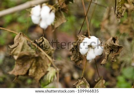 Closeup of a cotton plant, Gossypium, at harvest time - stock photo