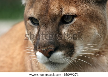 Closeup of a Cougar. - stock photo