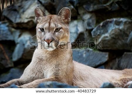 Closeup of a Cougar in Novosibirsk zoo - stock photo