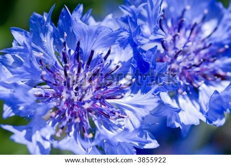 Closeup Of A Couple Pretty Blue Cornflowers
