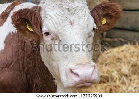 closeup of a cow head