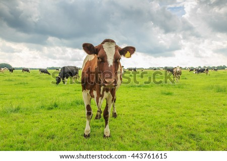 Closeup of a cow in a green meadow with cloudy sky and a herd of cows in the background