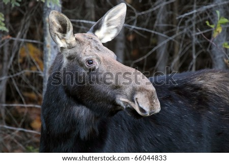 Closeup of a cow moose in Algonquin Provincial Park during the rutting season. - stock photo