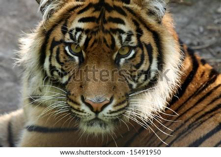 Closeup of a critically endangered  Sumatran Tiger. - stock photo