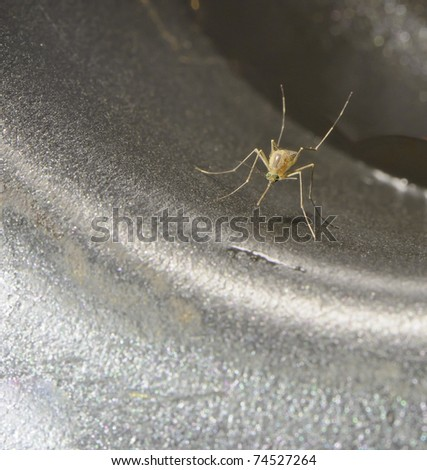 closeup of a Culicidae (mosquito), one of the worlds most dangerous pests, spreading malaria, dengue and several other potentially fatal diseases - stock photo