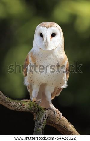 Closeup of a curious Barn Owl. - stock photo
