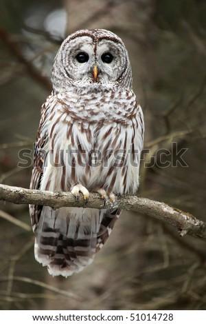Closeup of a curious Barred Owl. - stock photo