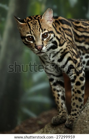 Closeup of a curious Ocelot.