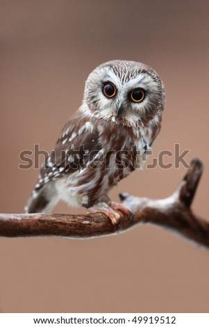 Closeup of a curious Saw-Whet Owl with two different colored eyes. - stock photo