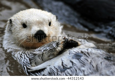 Closeup of a cute arctic sea otter relaxing in the water - stock photo