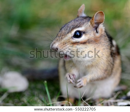 Closeup of a cute female chipmunk with her mouth open