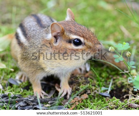Closeup of a cute little chipmunk with her cheeks full of stored seeds