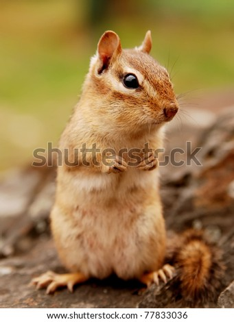 Closeup of a cute little female chipmunk