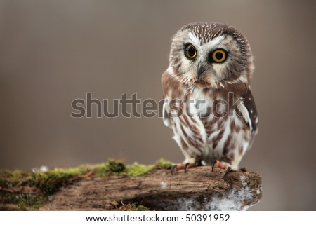 Closeup of a cute Northern Saw-Whet Owl. - stock photo