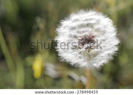 Closeup of a Dandelion flower, Zaragoza Province, Aragon, Spain. - stock photo