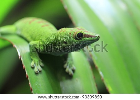 closeup of a day gecko