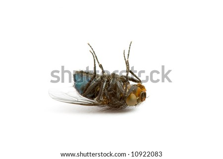 Closeup of a Dead Fly isolated on White - stock photo
