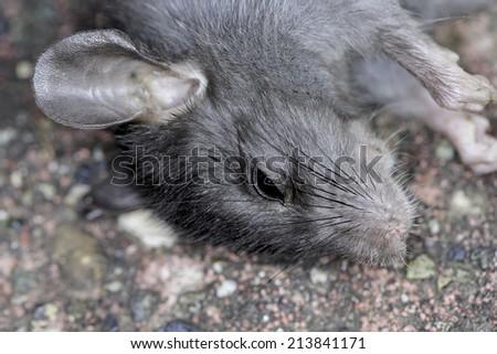 Closeup of a dead rat - stock photo